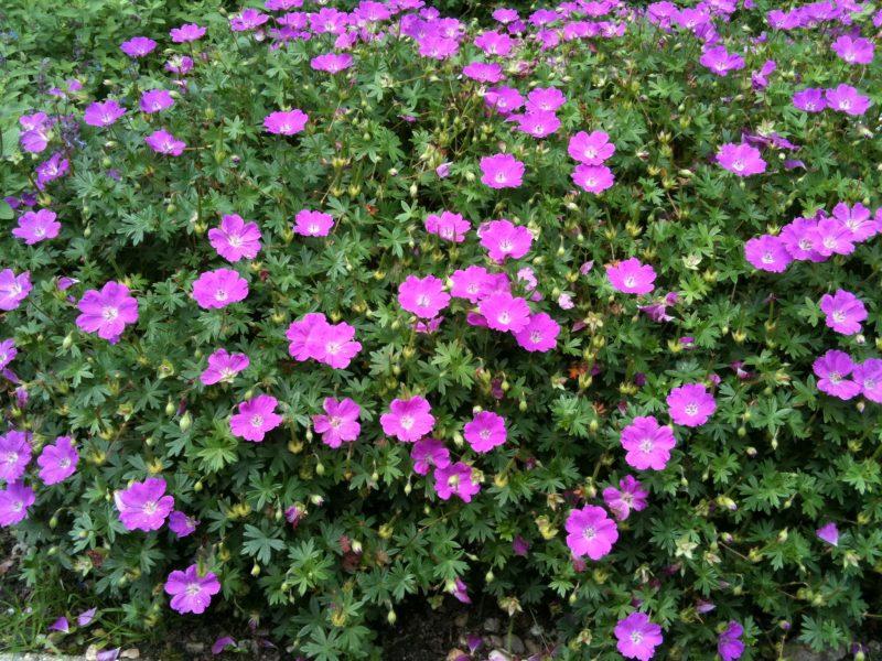 geranium ooievaarsbek